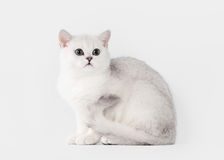 Silver british kitten on table with wooden texture Stock Photo