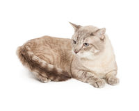 Silver and brown cat Stock Photos