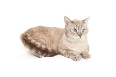 Silver and brown cat laying Stock Photo