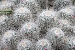 Silver Cactus stock photography