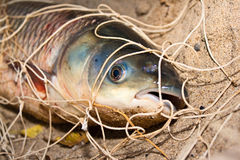 The silver carp caught in a network Royalty Free Stock Photo
