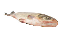 Silver carp fish isolated Stock Images