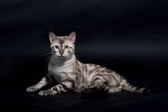 Silver cat Stock Image