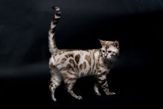 Silver cat. Smoke-coloured bengal cat walking on black background Royalty Free Stock Image