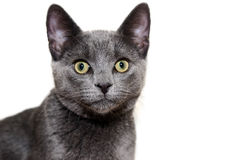 Silver cat against white background Stock Photography