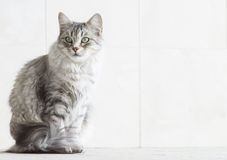 Silver cat in the arcade. Beautiful siberian cat in the garden stock image