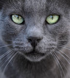 Silver cat  background. Ashy cat as a gray background with beautiful sad green eyes Stock Image