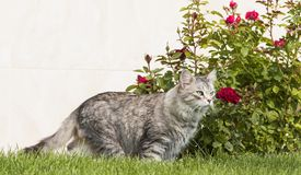 Silver cat in a garden, female long haired siberian breed Stock Photography