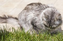 Silver cat in a garden, siberian purebred female on the grass green. Female kitten from siberian livestock. Lovable domestic cat eating grass outdoor Stock Photography