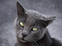 Silver cat on gray background. Ashy cat on a gray background with beautiful sad green eyes Stock Photo
