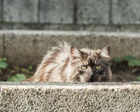 Silver cat is hidding behind a wall Stock Photo