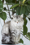 Silver cat in the house, siberian breed Stock Image