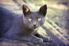 Silver cat looking. Yellow eyes silver cat looking looking at the camera Royalty Free Stock Photo