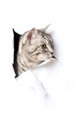 Silver Cat Royalty Free Stock Photos