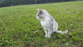 Silver cat on meadow. Silver cat sitting on grass of meadow with forest behind stock video footage