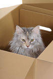 Silver cat in paper box. Royalty Free Stock Photo