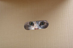 Silver cat in paper box. Royalty Free Stock Image