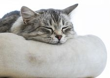 Sweet grey silver female siberian cat on a pillow Royalty Free Stock Photo