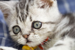 Silver cat. `s photo,cut cat Royalty Free Stock Photography