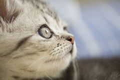 Silver cat. `s photo,cut cat Stock Photography