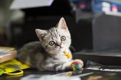 Silver cat. `s photo,cute cat Stock Photos
