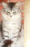 Silver cat of siberian breed,adult female Royalty Free Stock Photography
