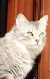 Silver cat of siberian breed,female Stock Photos