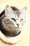 Silver cat of siberian breed,female Stock Photo
