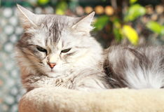 Silver cat of siberian breed,female Royalty Free Stock Photos