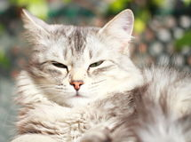 Silver cat of siberian breed,female Royalty Free Stock Images