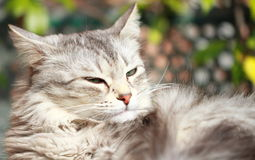 Silver cat of siberian breed,female Stock Image