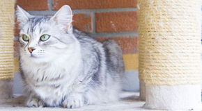 Silver cat of siberian breed, livestock  cat Royalty Free Stock Images