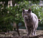 Silver cat is staring at something Royalty Free Stock Images