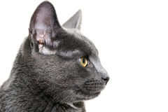 Silver cat on white background Stock Image