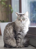 Silver cat at the window, siberian breed. Grey kitten, siberian breed of cat stock photo