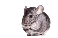 Silver Chinchilla Royalty Free Stock Photos