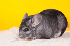 Silver Chinchilla bathing in white sand Stock Images