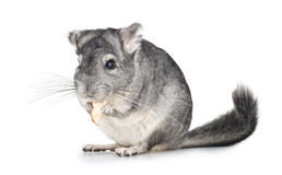 Silver Chinchilla eating on white Stock Photo