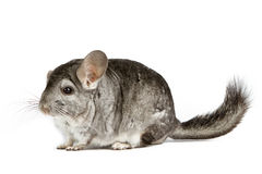 Silver Chinchilla. Sitting on isolated white background Stock Images