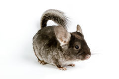 Silver Chinchilla Royalty Free Stock Photo