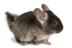 Silver Chinchilla Stock Image