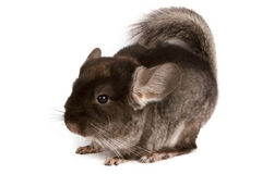 Silver Chinchilla Royalty Free Stock Images