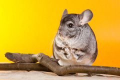 Silver Chinchilla sitting near the branch Stock Photography