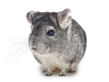 Silver Chinchilla sitting on white Royalty Free Stock Images