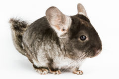Silver Chinchilla. Sitting on  white background Stock Images