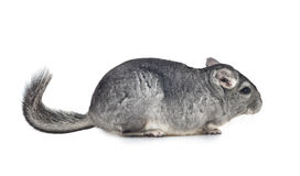 Silver Chinchilla on white background Royalty Free Stock Image