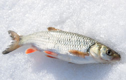 Silver chub on shiny snow Royalty Free Stock Images
