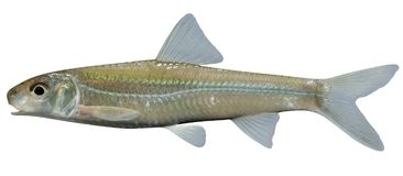 Silver Chub. Fish illustration on white nackground Stock Images