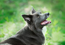 Silver colored border collie portrait in summer Royalty Free Stock Photos