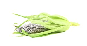 Silver corncob by green leaves. Royalty Free Stock Image